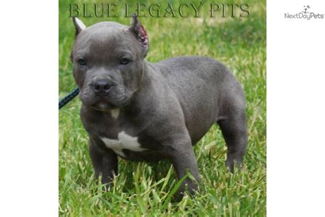 pocket pitbull puppies american pit bull terrier puppy for sale near orange county california 9b500209 3161
