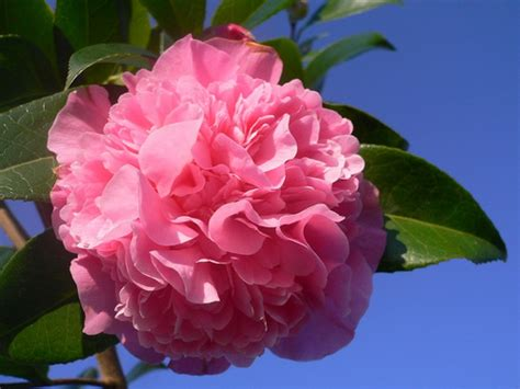 how to care for camellias garden guides
