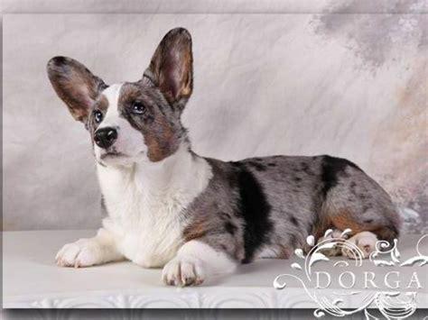 corgi puppies mn cardigan corgi breeders mn sweater grey