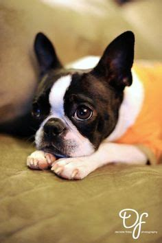 boston bull terrier puppies 1000 images about boston terriers and bulldogs on boston terriers