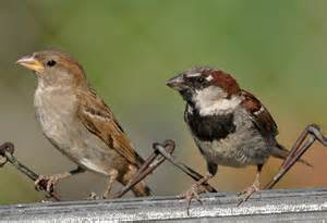 Backyard Birds Of Texas Male And Female House Sparrow Tina M Turner Flickr