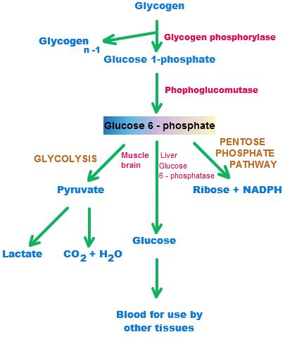 carbohydrates are stored as glycogen in the glycogen definition glycogen synthesis structure