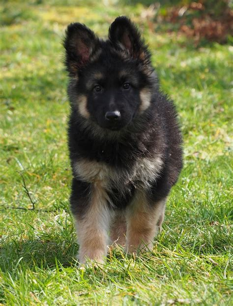 haired german shepherd coat german shepherd puppies crymych pembrokeshire pets4homes