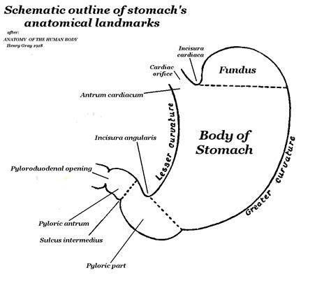 regions diagram anatomy regions diagram anatomy free engine image