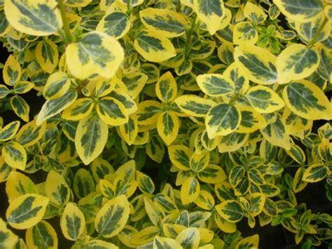 piante sempreverdi da vaso piante da esterno daveli