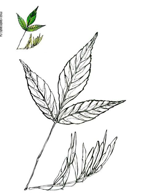 ash leaf coloring page ash tree coloring pages for kids free printable ash tree