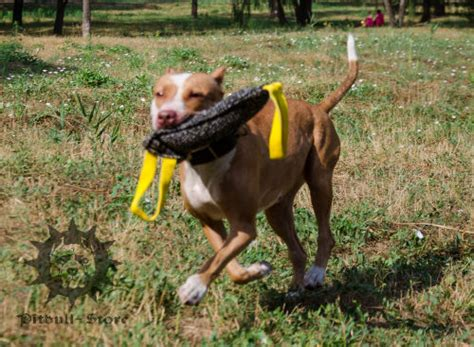 how to a to bite on command how to amstaff to run the commands part 3 pitbull muzzle collar pit