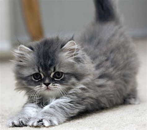uccidere un gatto porta territorialit 224 e caccia il gatto cattura tre roditori al