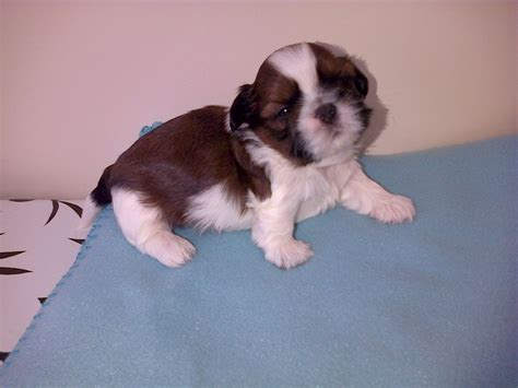 imperial shih tzu puppies for sale in va shih tzu puppies for sale puppies for sale dogs for sale puppies breeds picture