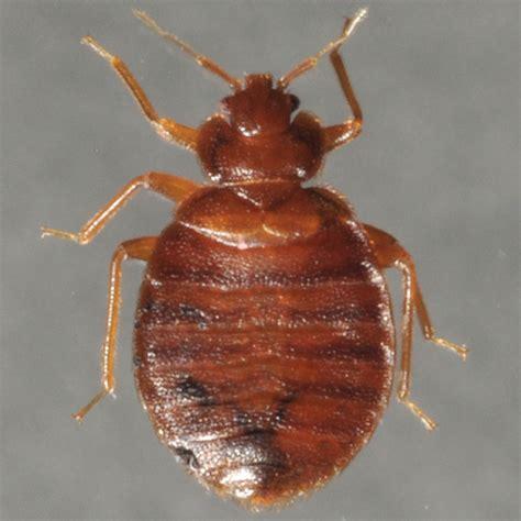 adult bed bug bed bug photos rutgers njaes