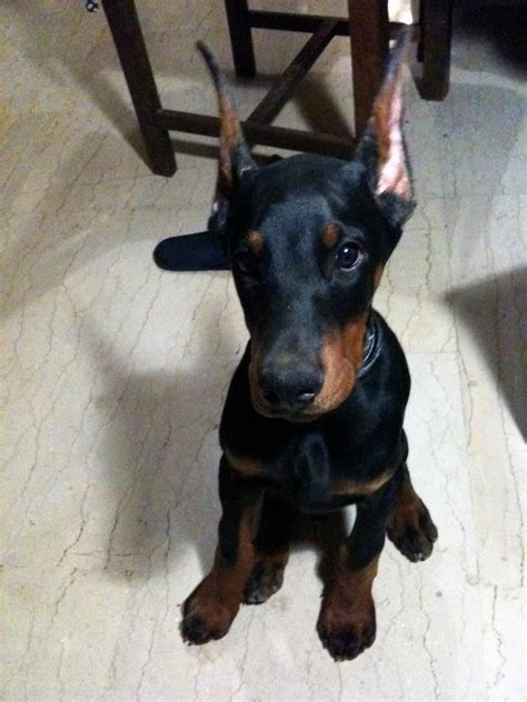 doberman puppy 17 best images about i dobermans on