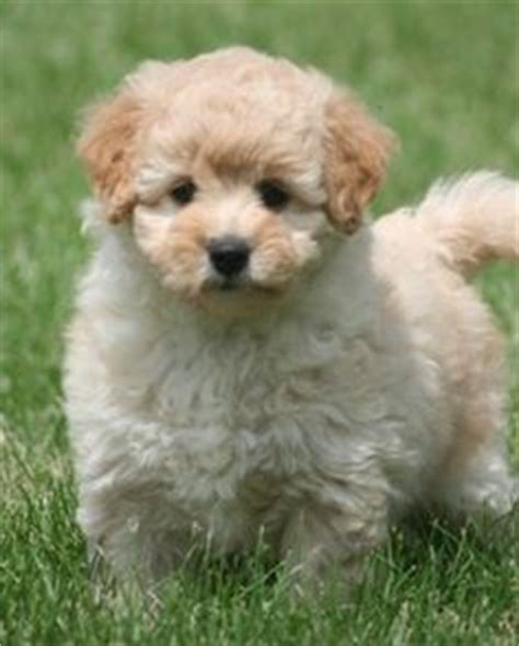 yorkie poo breeders bc 1000 images about cutest dogs on yorkie goldendoodle and yorkie poo