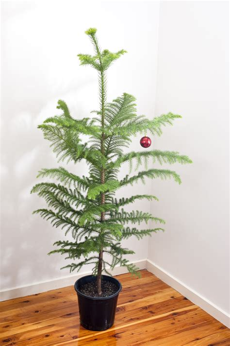 photo of natural norfolk pine christmas tree free