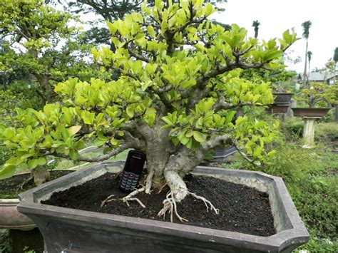 Jual Bakalan Bonsai Malang jual bonsai murah di malang malang guidance