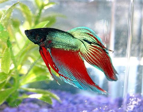 10 Best Images About Beta fish pictures siamese fighting fish betta splendens