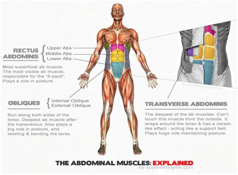 17 best images about human anatomy on charts arm workouts and stock photos
