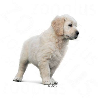 golden retriever food guide royal canin golden retriever junior great deals at zooplus