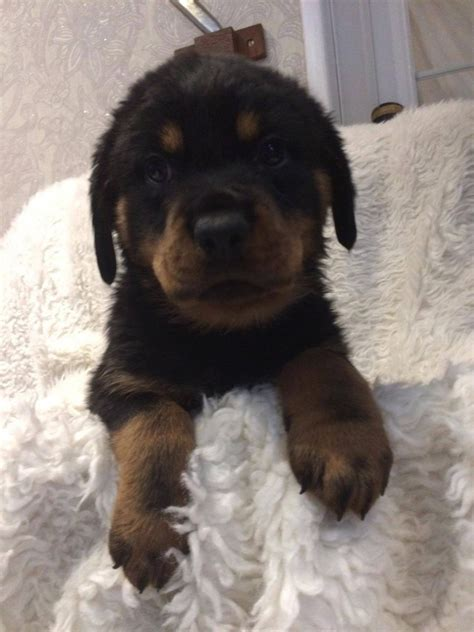 rottweiler puppies for sale in the uk rottweiler puppies for sale bideford pets4homes
