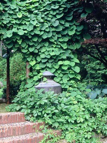 kletterpflanzen halbschatten dutchman s pipe