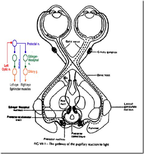 ocular movements visual reflexes