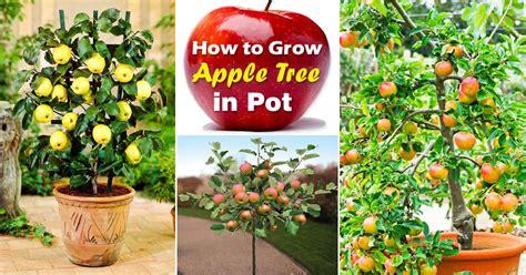 growing apple trees  pots   grow apple tree