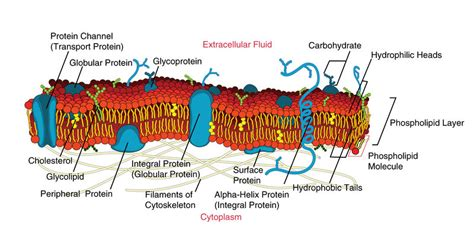 6 proteins in cell membrane membrane proteins read biology ck 12 foundation