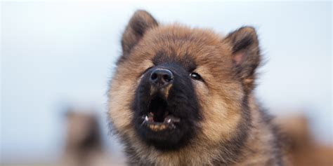 dogs howling howling sound breeds picture