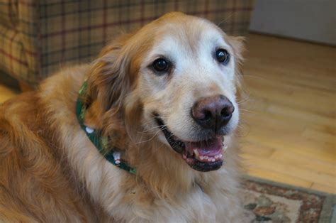 adoption golden retriever golden retriever rescue