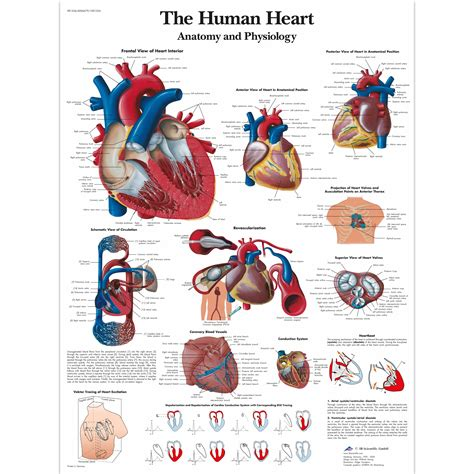 the heart and the the human heart chart anatomy and physiology