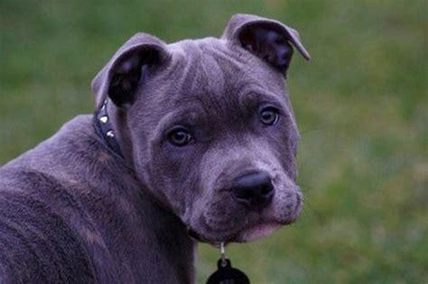 extinct breeds extinct breeds of dogs breeds picture