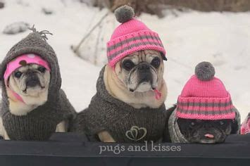 pug marriage 17 best images about pugs on pug and lets go