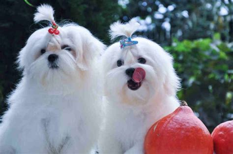 yorkie maltese bichon mix top 10 world most popular maltese mix breeds