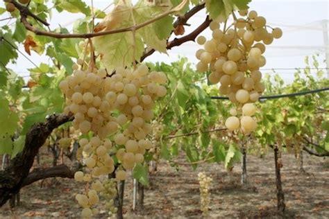 uva da tavola puglia uva da tavola al via la raccolta in puglia agronotizie
