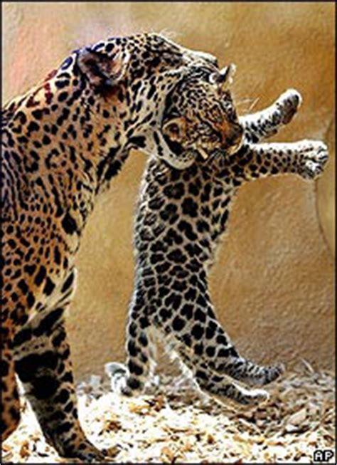 imagenes de jaguar hembra panthera onca jaguar cuidado de las crias quot quot