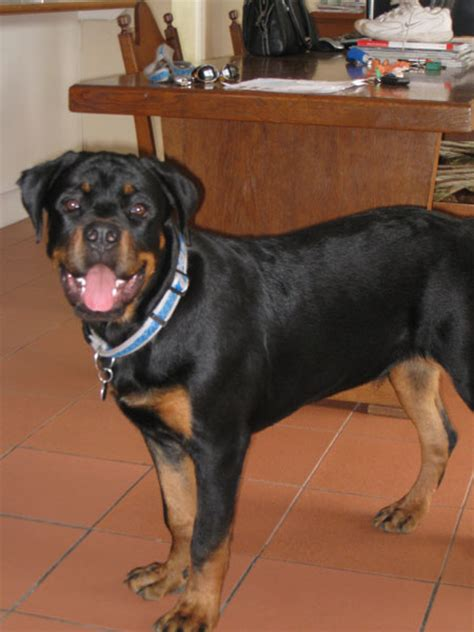rottweiler growth stages rottweiler growth how big should a 17 month be pictures