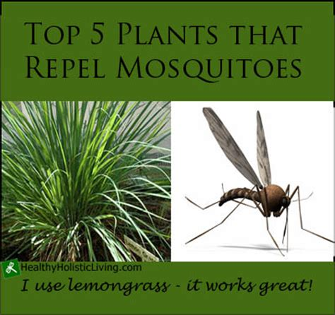 top 5 plants that repel mosquitoes