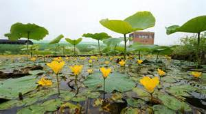 Lotus Plants For Ponds Summer At Lotus Pond In Junam Wetlands In Changwon