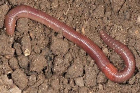 Obat Cacing Kalung 119 manfaat dan khasiat daging cacing tanah untuk