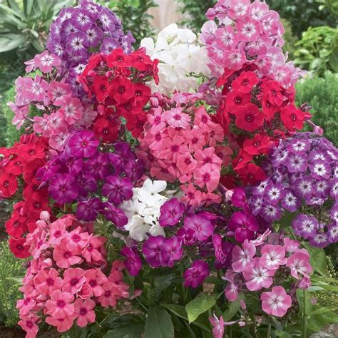 Pink Garden Flowers Perennial Phlox Phlox Paniculata David White Nicky Magenta Purple Purple W