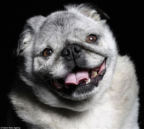 ugliest pug in the world photographer ramin rahimian captures some of the world s ugliest dogs daily mail