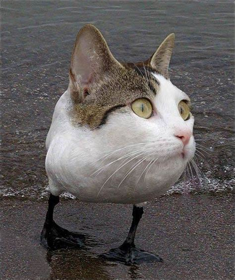 cat hybrid photoshopped foto 2016