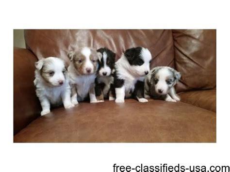 australian shepherd puppies ct australian shepherd puppies available and animals hartford