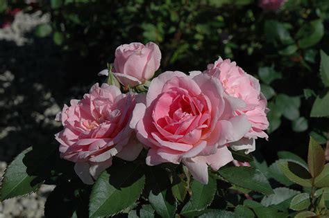 prairie joy rose rosa prairie joy  winnipeg