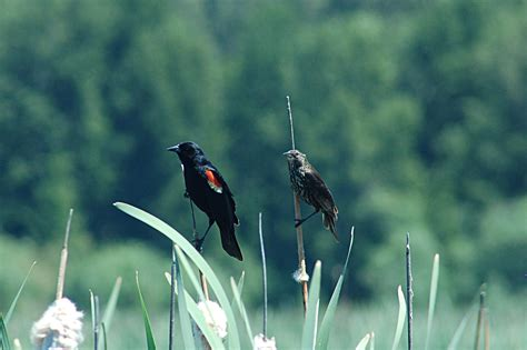 tri colored blackbird dairymen join birders to help save the tricolored