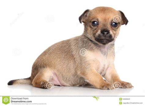 brown chihuahua puppy chihuahua puppy one month stock photos image 34930623