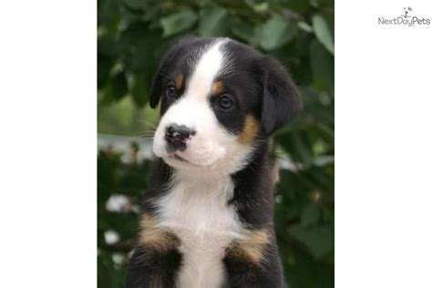 swiss mountain puppies for sale greater swiss mountain puppy for sale near milwaukee wisconsin 6d3aec3a e741