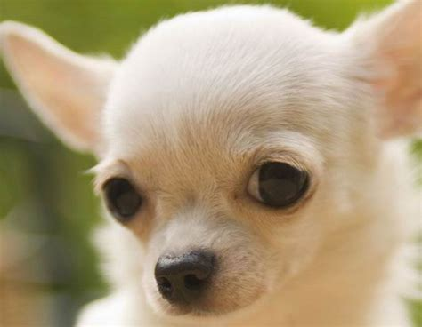 white chihuahua puppies chihuahua puppy chihuahua puppies for sale