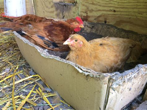 gnats in bathtub use vanilla to protect your chickens from gnats biting flies and biting midges