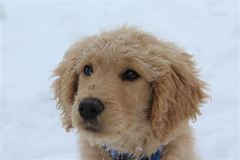 goldendoodle puppy coat transition goldendoodle puppy placed