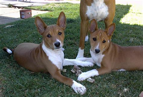 basenji dogs basenji pictures diet cycle facts habitat behavior animals